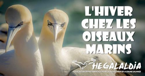 lhiver-chez-les-oiseaux-marins-du-littoral-basque
