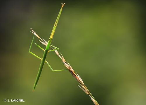 phasme-gaulois-clonopsis-gallica--photo-inpn--j.laignel