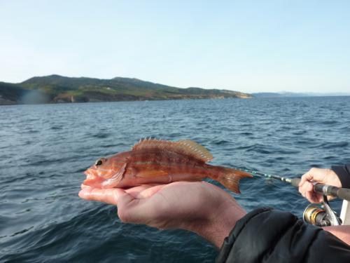 ce-sarran-dit-craba-fraichement-peche-au-large-du-jaizkibel-et-pret-a-rejoindre-ses-congeneres-sur-les-fonds-rocheux-du-littoral-basque.