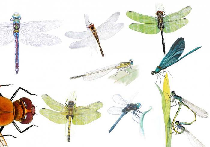 les-libellules-des-insectes-sophistiques