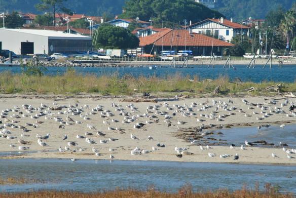 les-oiseaux-du-littoral-hendayais-baie-de-txingudi-et-domaine-dabbadia